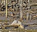 Gorgebleue à miroir Cyanecula svecica aDSC 4063 (51104716281).jpg