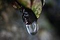 Gota de agua en percebe (3771893302).jpg