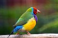 Gouldian Finch (8952067299).jpg