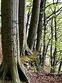 Granitz. Bewaldete Steilküste.jpg