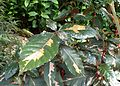 Graptophyllum pictum 'Chocolate' kz2.jpg