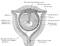 Sectional plan of the gravid uterus in the third and fourth month.