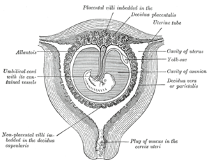 Decidual reaction - Sectional plan of the gravid uterus in the third and fourth month.