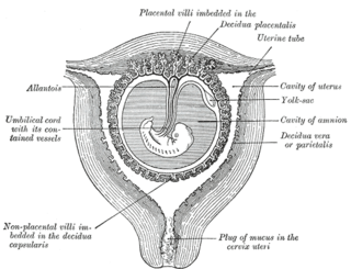 Decidualization The cellular and vascular changes occurring in the endometrium of the pregnant uterus just after the onset of blastocyst implantation. This process involves the proliferation and differentiation of the fibroblast-like endometrial stromal cells into l