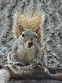 Gray Squirrel USA.jpg