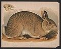 Gray rabbit - Lepus sylvaticus - E.K. LCCN2017660729.jpg