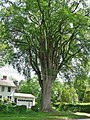 Grayson Elm, Amherst, Massachusetts - August 6, 2017.jpg