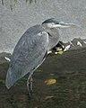 Great Blue Heron (Ardea herodias) - Kitchener, Ontario 01.jpg