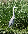 Great Blue Heron Ardea herodias, Arizona - gailhampshire (2).jpg