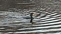 Great Cormorant (Phalacrocorax carbo) - Oslo, Norway 2020-11-08.jpg