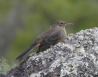 Tyrant flycatcher - The great shrike-tyrant (Agriornis lividus) is the largest species of tyrant flycatcher.