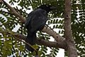 Greater Antillean Grackle (Quiscalus niger) (8591587695).jpg