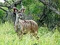 Greater Kudu (Tragelaphus strepsiceros) young male ... (51137702829).jpg