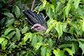Green-billed malkoha (Phaenicophaeus tristis) 42.jpg
