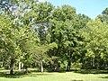 Green Ash (Swamp Ash) - Fraxinus pennsylvaniaca P9190050.jpg