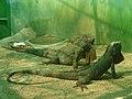 Green Iguana at Nehru Zoological park.JPG