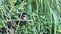 Green Kingfisher Chloroceryle americana (41891771075).jpg