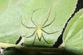 Green Lynx Spider 7043.jpg