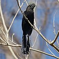 Grenada- Smooth-Billed Ani (4464431976).jpg