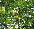 Grey-headed Cicadabird. Edolisoma schisticeps (48750081982).jpg