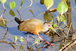 Grey-necked Wood Rail (Aramides cajanea) (28439453400).jpg