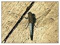 Großer Blaupfeil (Orthetrum cancellatum) Männchen.jpg