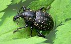 Grosser Traegruessler Liparus glabiostris.jpg