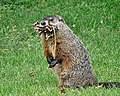 Groundhog With Burrow Material.jpg