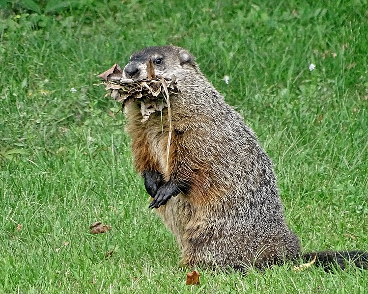 File:Groundhog With Burrow Material.jpg