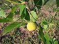 Guabiroba fruto.jpg