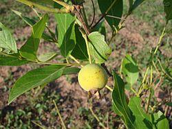Campomanesia pubescens