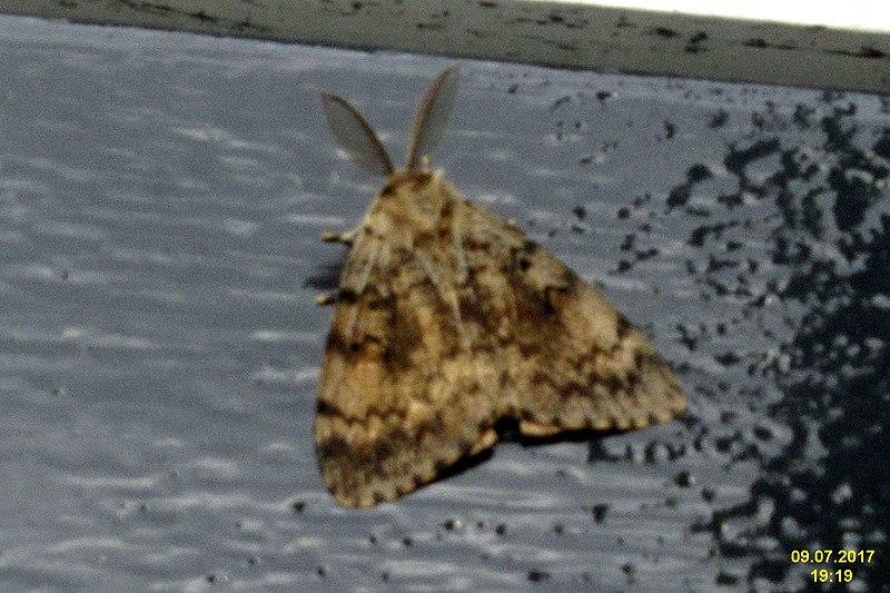File:Gypsy moth, m. (FG) (23573183168).jpg