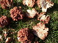 Gyromitra caroliniana 82019.jpg