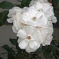 H20140614-2925—White Rose—Shoko-1 (14494358173).jpg
