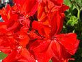 HD Pelargonium Graveolens 02.jpg