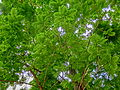 HK Central City Hall Memorial Garden tree 02 green crown May 2013.JPG