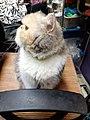 HK HH 紅磡 Hung Hom 異國長短毛貓 Exotic Shorthair bleed cat November 2020 SS2 17.jpg