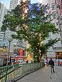 HK Kennedy Town Smithfield tree near Luen Tak Apartments Feb-2013.JPG