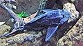 Hal - Pterygoplichthys gibbiceps - 1.jpg