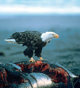 Bald eagle - A bald eagle on a whale carcass.