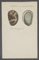 Haliotis marmorata - - Print - Iconographia Zoologica - Special Collections University of Amsterdam - UBAINV0274 081 14 0011.tif