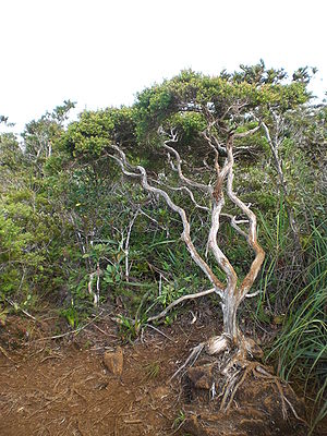 Mount Hamiguitan - A tree growing in the dwarf forest of Mount Hamiguitan