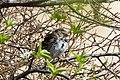 Harris's Sparrow (Zonotrichia querula) (19730863663).jpg