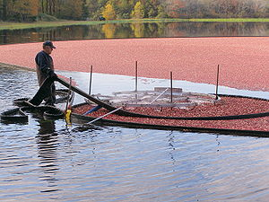 Cranberry harvest near Buzzards Bay, Massachusetts