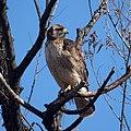 Hawk (11391789383).jpg