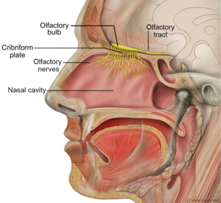 Olfactory system part of the sensory system used for smelling