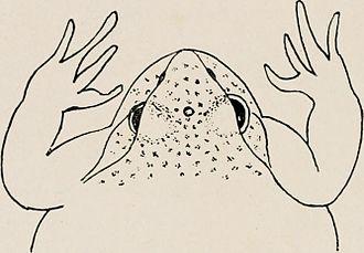 Richard M. Eakin - The third eye (frontal organ) of a frog, seen between the regular eyes.