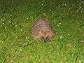 Hedgehog cologne.jpg