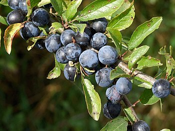 English: Hedgerow, Kirkstead Sloe berries.