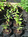 Hedychium spicatum wild Ciaojiang - Flickr - peganum.jpg